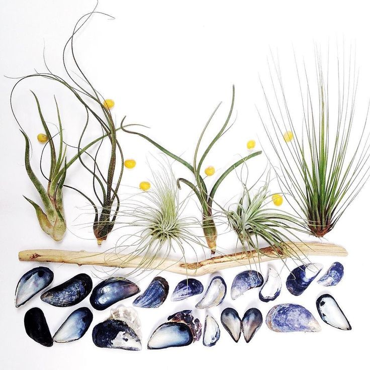 It's Friday yes it's Friday! These are a few finds from our beach walks this week avec air plants. I do have a thing for mussels..