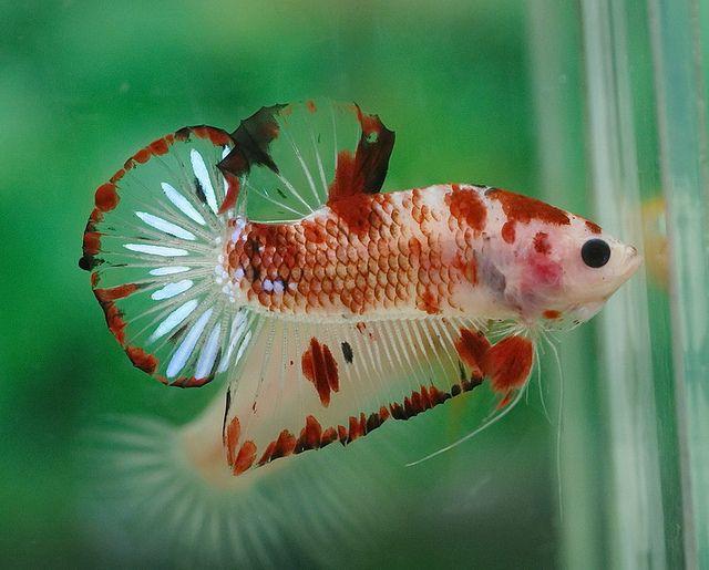 Koi halfmoon plakat fancy bettas pinterest photos for Male koi fish