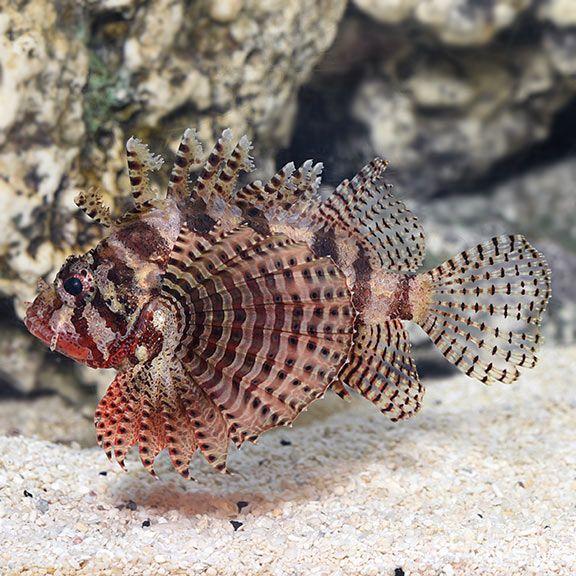 Fuzzy Dwarf Lionfish Dendrochirus Brachypterus Lion Fish Saltwater Aquarium Fish Sea Creatures