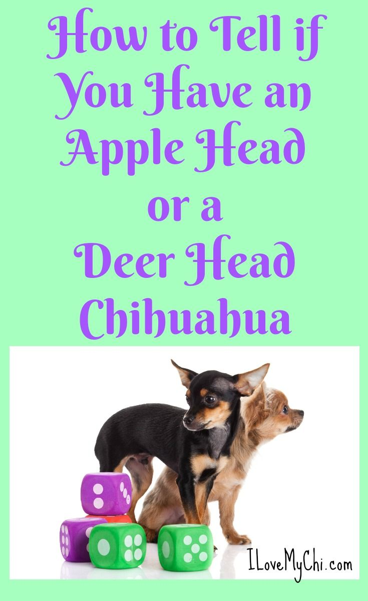 Do You Have an Apple Head or Deer Head Chihuahua? via @cathyratcliffe