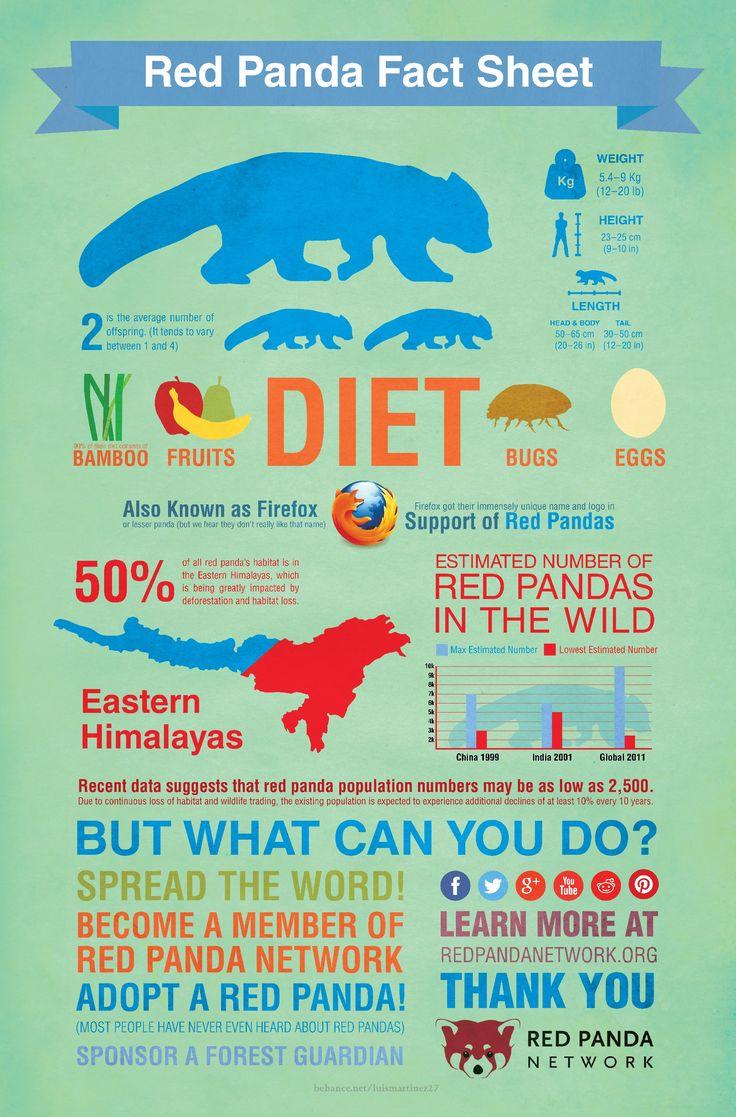 Best 25 Red Pandas Ideas On Pinterest Red Panda