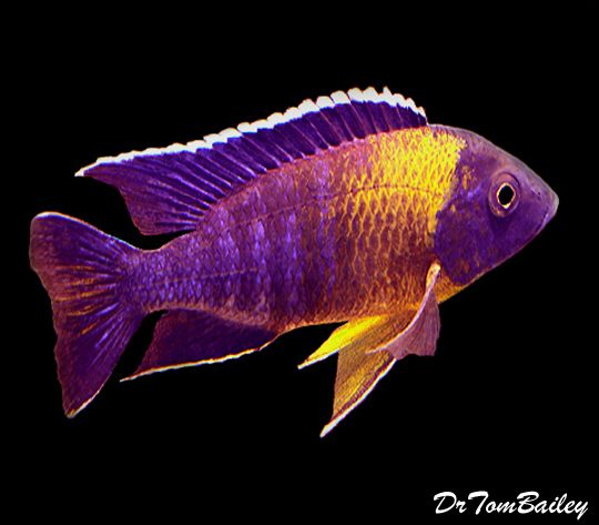 25 best ideas about cichlid aquarium on pinterest for Coolest freshwater fish