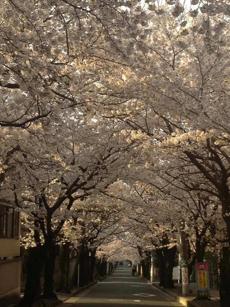 Cherry blossom are all over DC