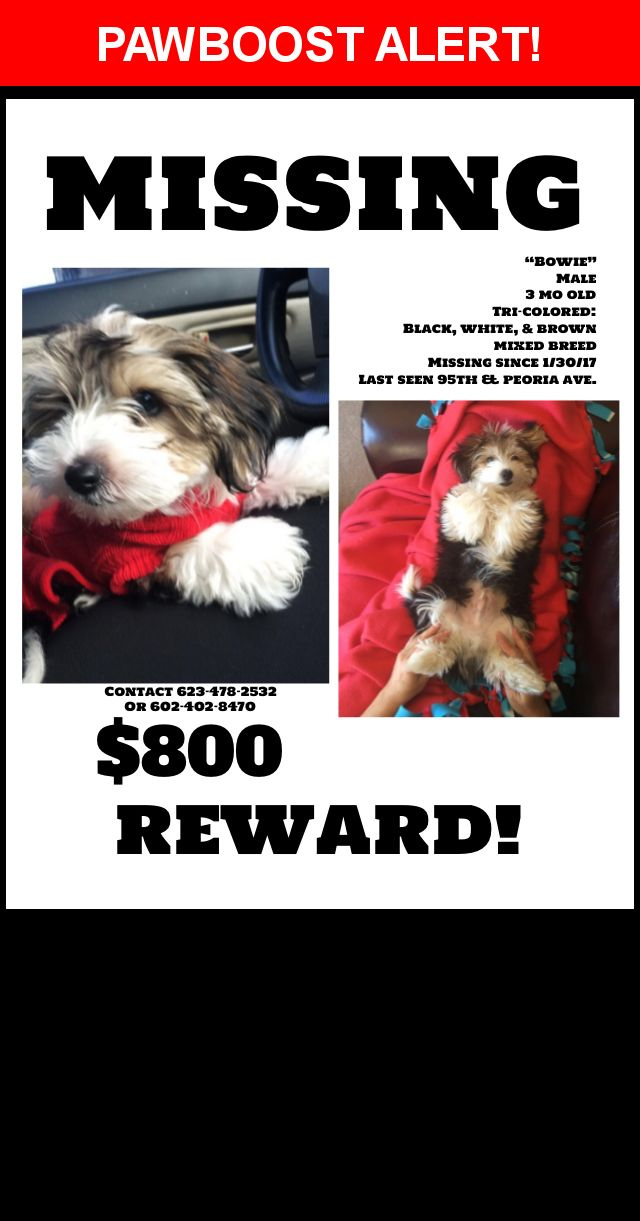 Please spread the word! Bowie was last seen in Peoria, AZ 85345.  Description: Yorkie poo Missing   Broadcast on 1/31 ABC 15 Arizona   And Channel 12 10 pm news     Tri color unique markings our baby   Likes to nibble unique blue special order carrier stolen too  Nearest Address: Near N 94th Dr & W Ironwood Dr