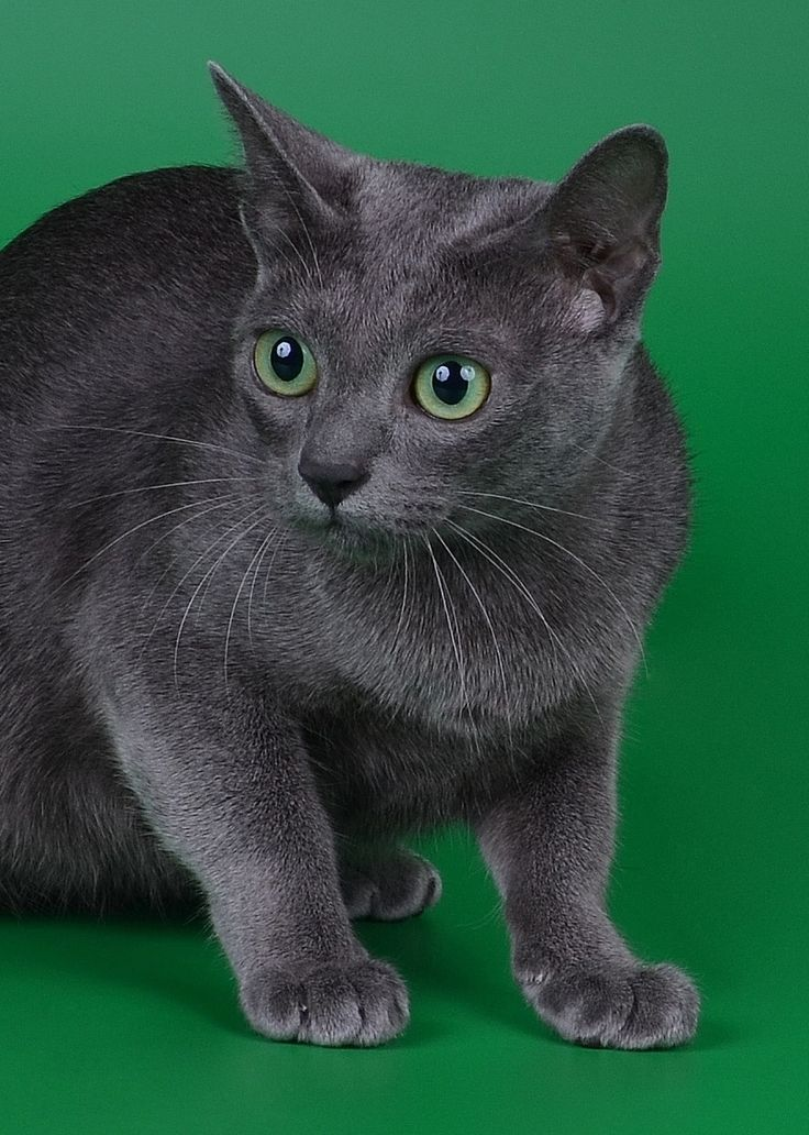 I reallyyy want a Korat. They're so beautiful.