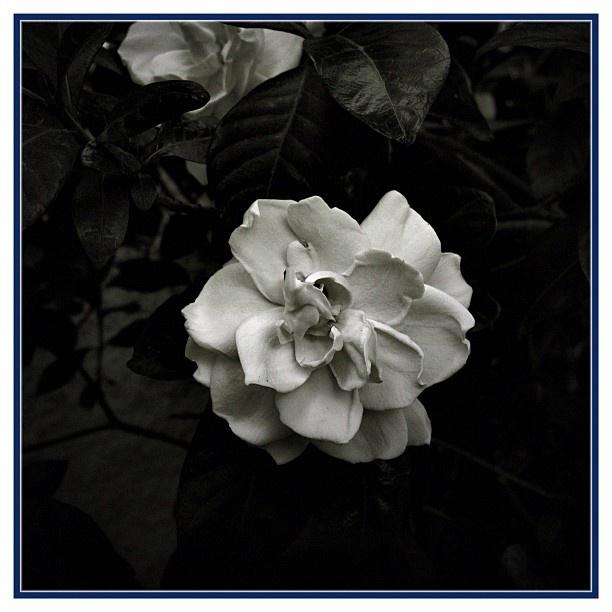 Dos gardenias para ti ..