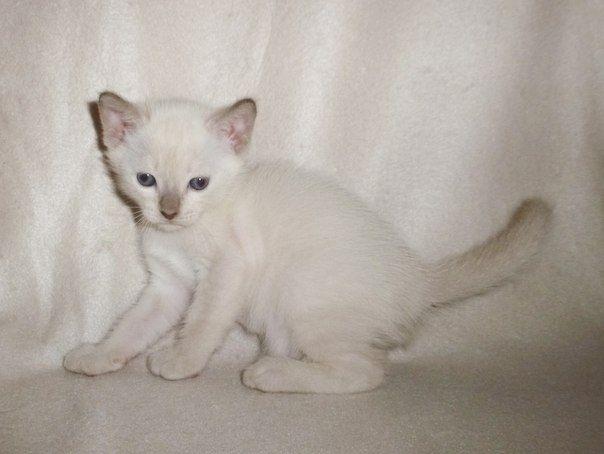 Корнелита- корниш рексы и тонкинезы котята