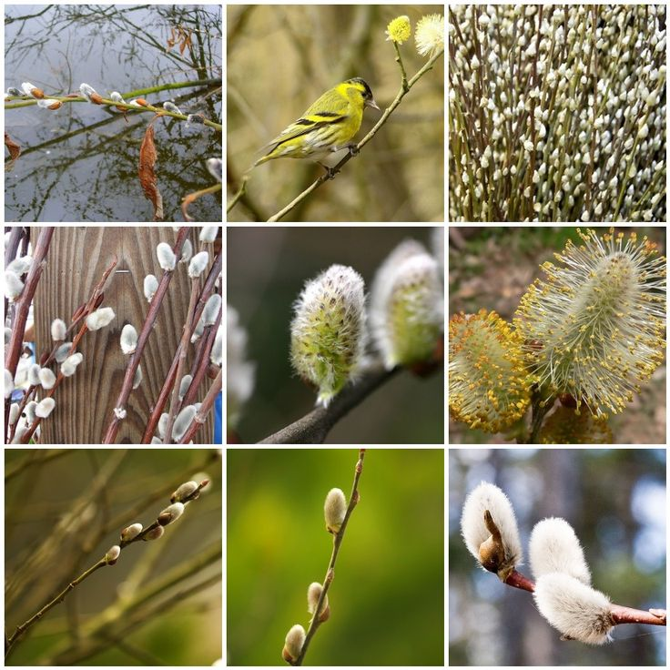 50 Natives: Ohio - Salix Discolor (Pussy Willow)