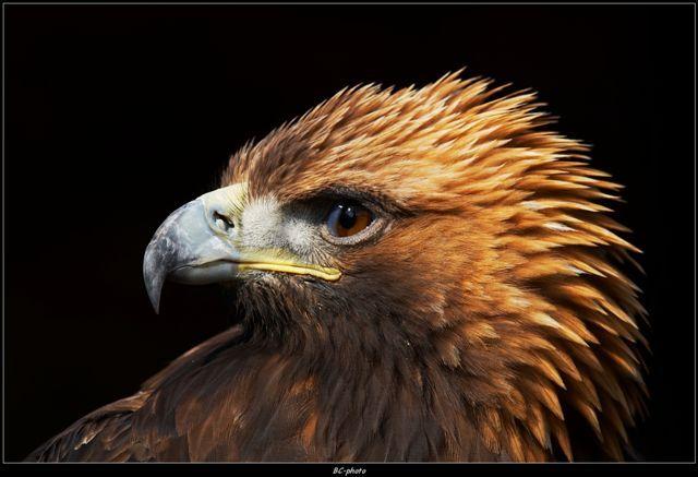 Astur falconry