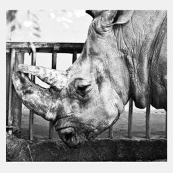 Fotoprint Næsehorn 64x68cm