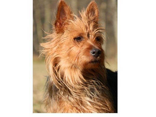 #Australische Terrier. Ingezonden op: 10 maart 2015: Honey vom Schloss Mordor