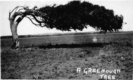Mid 1940s postcard view of famous local leaning trees