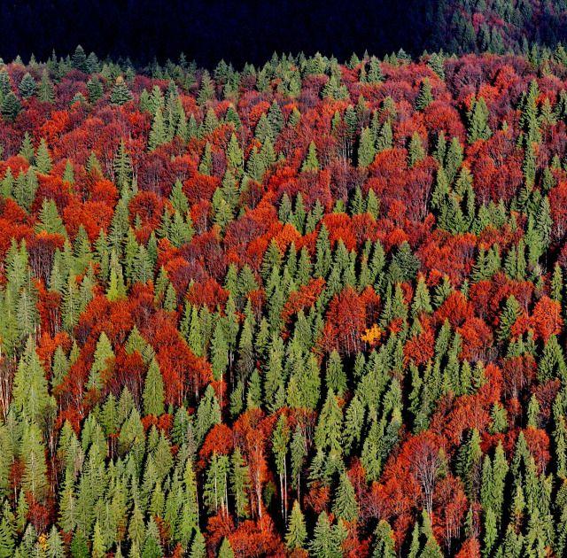 Pădure din Mureș, toamna