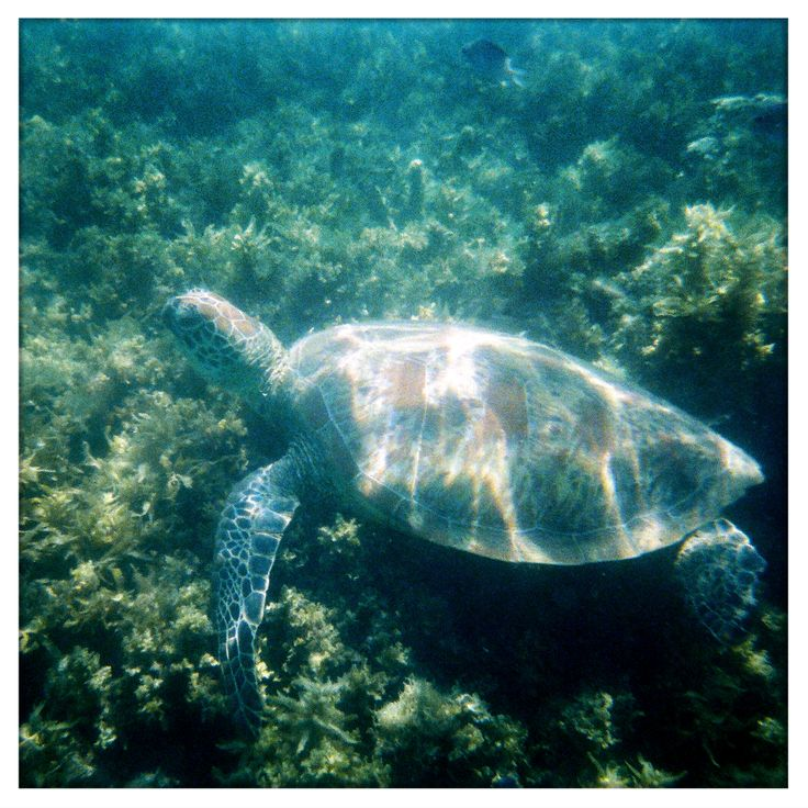 I finally got my underwater disposable camera developed from our trip to Hamilton Island. I wasn't sure whether the turtle pics had worked out but they had. Yay!