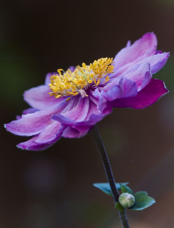 17 Best images about Anemone on Pinterest  Cambridge