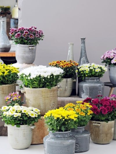 Potted Chrysanthemum, thejoyofplants.co.uk
