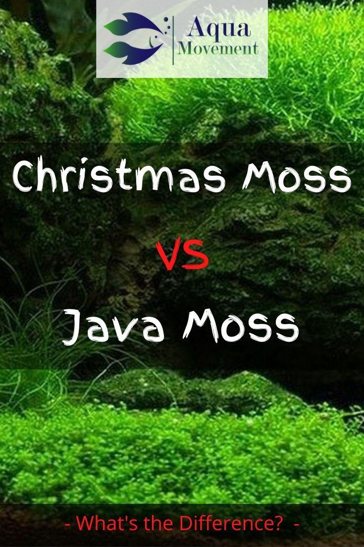 Christmas Moss vs Java Moss - A Comparison | Aqua Movement in 2020 | Freshwater aquarium plants ...