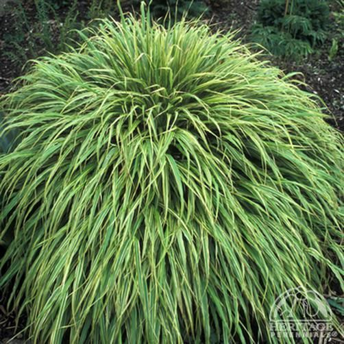 1000 images about plant list for back patio on pinterest for Oriental grass for shade