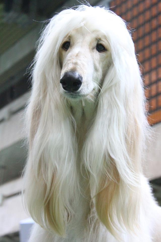 Afghan Blonde 97