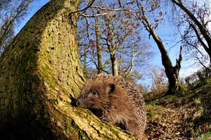 Hedgehog in the British countryside