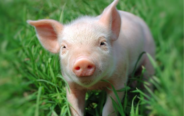Man has domesticated pigs for more than 10,000 years before Christ. Yet there are some interesting and amazing facts about pigs that should interest you.
