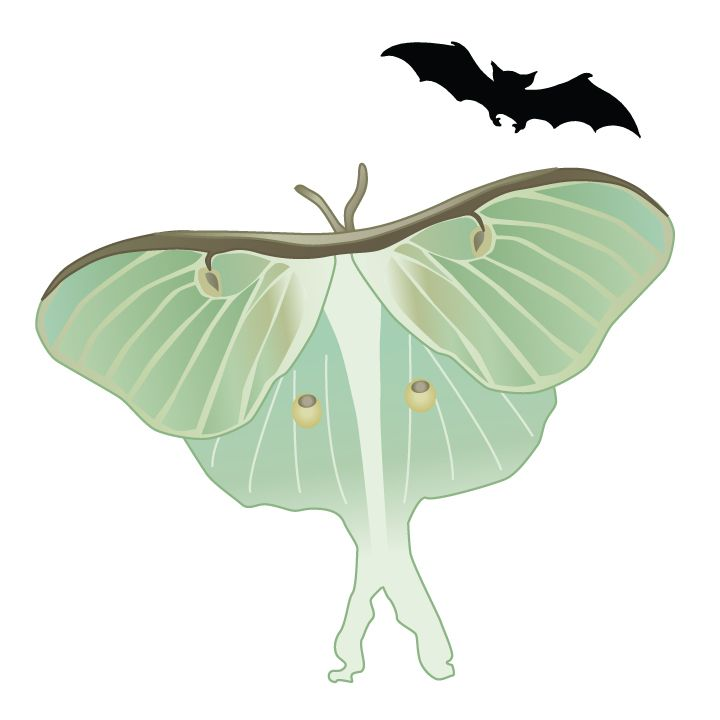 Some bat species depend on moths for food, but Luna Moths don't make easy prey! Their long twisted tails deflect bat echolocation and create an unclear target for the bat. Happy #BatWeek!! Click for free download! #LunaMoth #vector #illustration #sciencecommunication