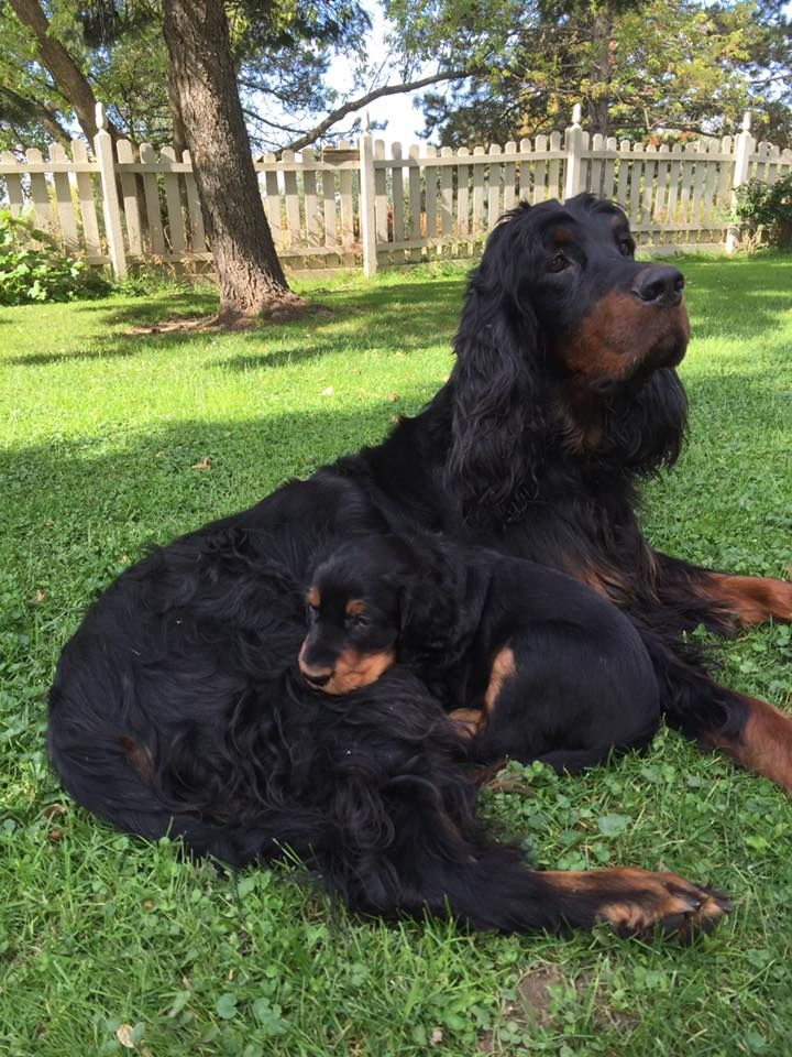 Gordon Setter. D. Nowak. Willow and pup.