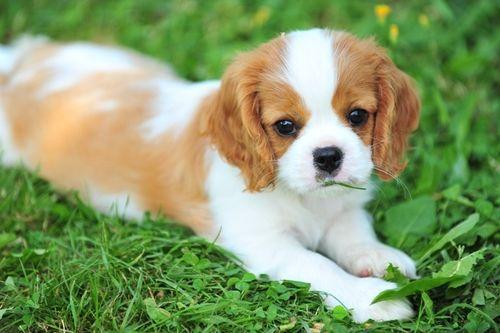 кавалер кинг чарльз спаниель щенки: 19 тыс изображений найдено в Яндекс.Картинках