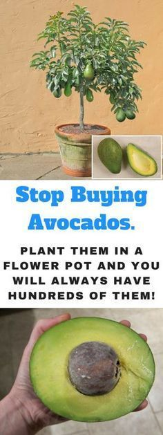 Tips on how to Develop an Avocado Tree in a Small Pot at Dwelling