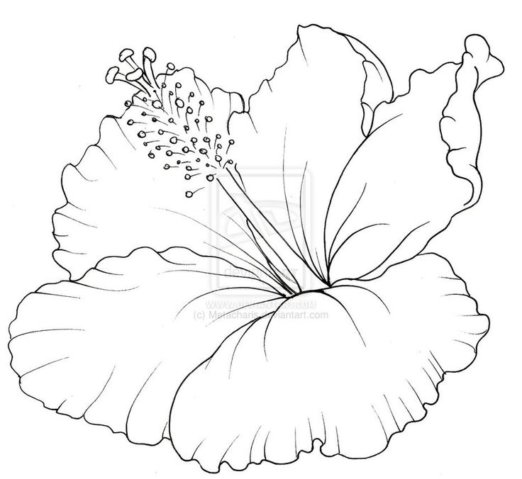 Red Flower Line Drawing : Best hibiscus drawing ideas on pinterest