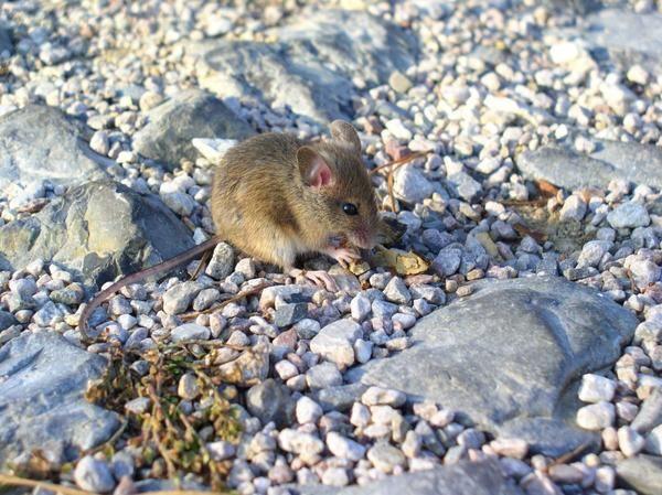 Мыши дocтaвляют нeмaлo зaбoт caдoвoдaм