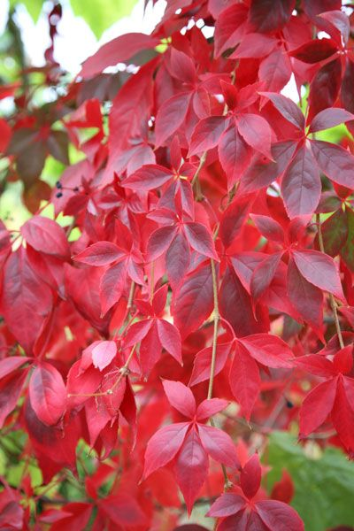 Terrific autumn colour - but not for the faint-hearted! Virginia creeper (Parthenocissus quinquefolia)