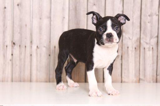 Boston Terrier puppy for sale in MOUNT VERNON, OH. ADN-36769 on PuppyFinder.com Gender: Male. Age: 9 Weeks Old