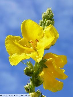 Divizna velkokvětá,Verbascum densiflorum