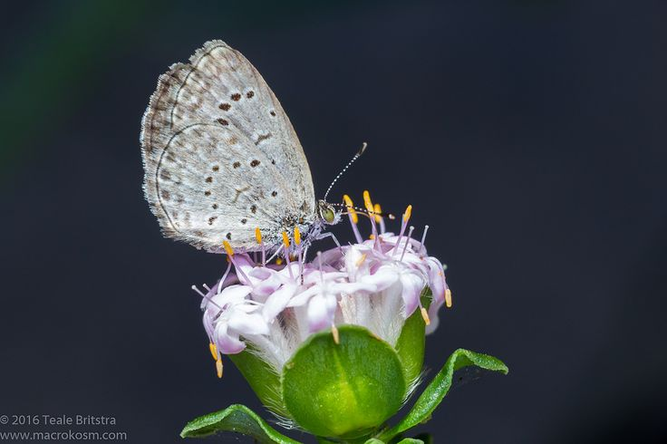 "https://flic.kr/p/Nzthui | Dark Grass Blue Butterfly on Pimelea Flower_Calliope_27092016 | A Dark Grass Blue Butterfly (Zizeeria karsandra) stopping by a Pimelea ferruginea ""White Solitaire"" flower from lunch in Calliope, Central Queensland."