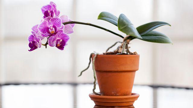 Comment refleurir une orchidée en 3 étapes ?