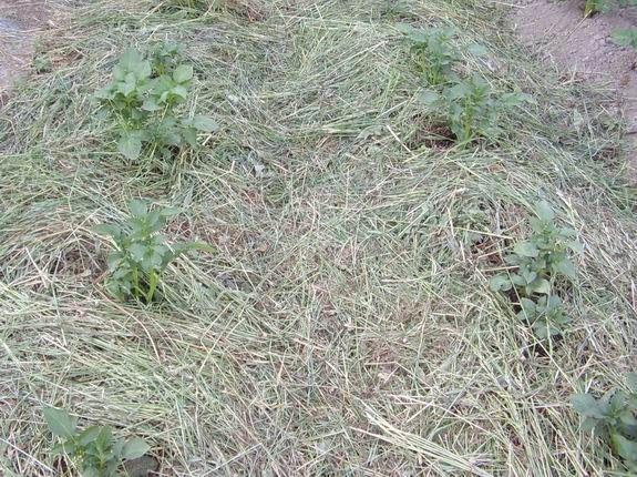 Как мульчирующая трава помогает окультуривать землю