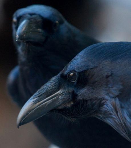 Les oiseaux à gros cerveau sont moins stressés que les autres. Ici, corneilles noires