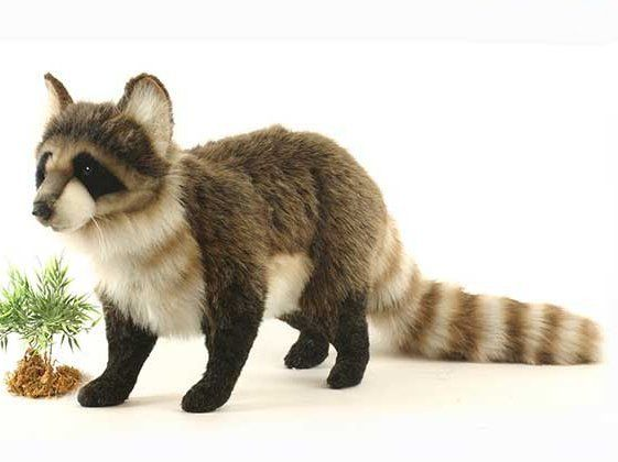 """""""Zorro"""" Raccoon"""
