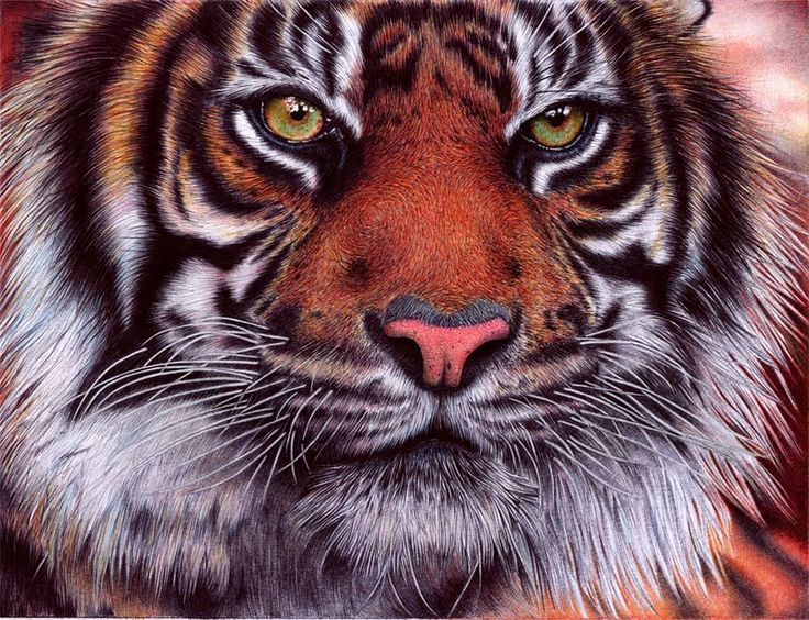 Tiger - Bic Ballpoint Pen Drawing by Samuel Silva: Approx. 20 hrs. to finish