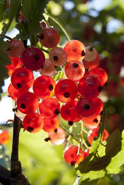 Glowing red currants.: Awesome Gardens, Red Fruit, Gardens Idea, Country Women, Amazing Food, Red Currant, Dream Gardens, Red Glass, Fresh Fruit