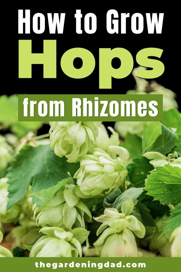 5 Easy Tricks How To Grow Hops Plants The Gardening Dad In 2020 Container Gardening Vegetables Edible Flower Garden Hops Plant
