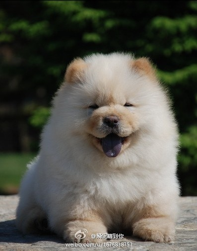 Chow Chow! If I end up with 3 dogs, this will be the 3rd kind I get. I can't get over how freaking adorably fluffy they are.