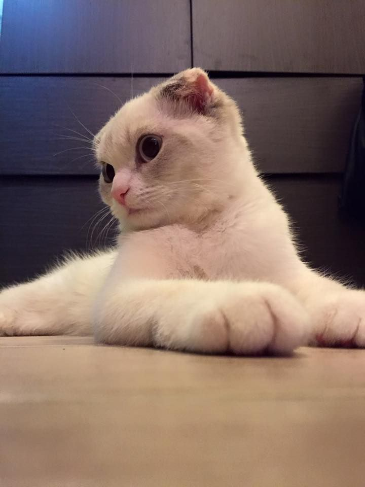 Marshmallow (Minfatong) Cat | Pawshake