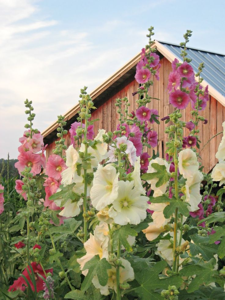 Hollyhocks, from the Happy at Home blog.. An old fashioned favorite flower for classic country gardens.
