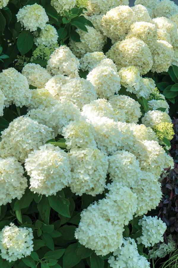 White Wedding Hydrangea From Southern Living White Hydrangea Plant Planting Hydrangeas Hydrangea Landscaping