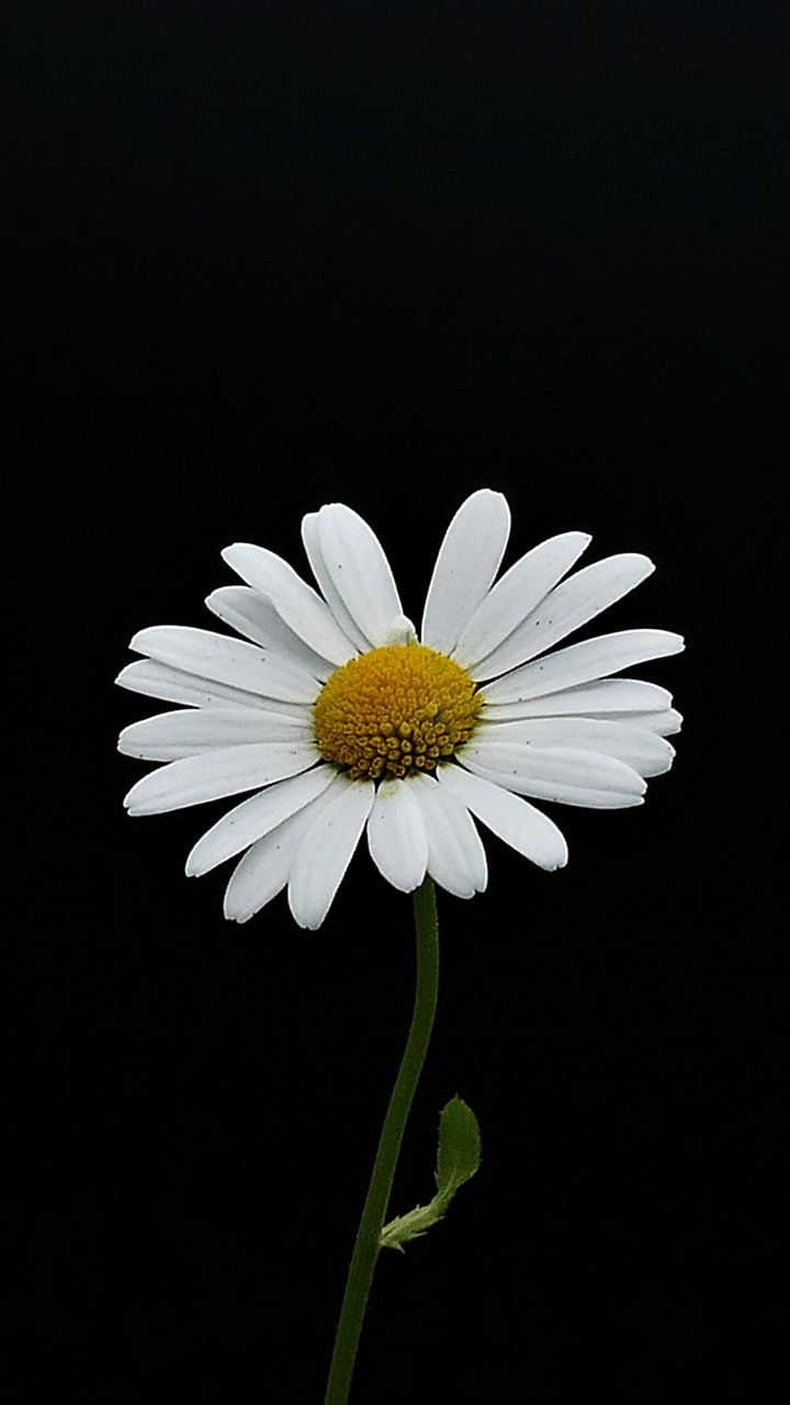 Portrait White Flower Minimal Daisy 720x1280 Wallpaper
