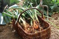 Légumes et potager - Fiche de culture : oignon blanc et oignon de couleur