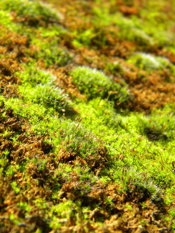 Burgeoning moss sporophytes. I don't think people give mosses enough credit. #moss #biology #plants #green #macro