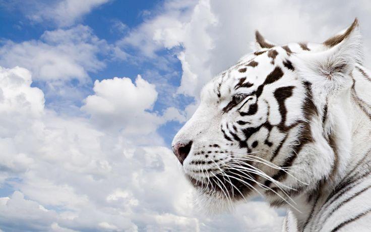 Tigre blanc Wallpaper